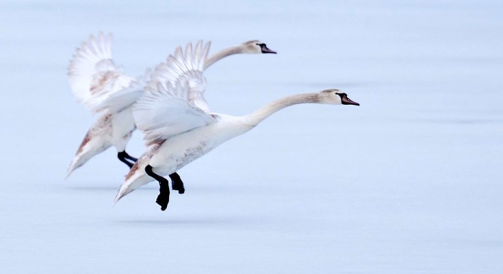Animal Symbolism Goose Meaning On Whats Your Sign