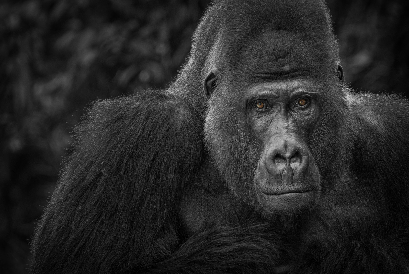 Animal Symbolism Gorilla Meaning On Whats Your Sign