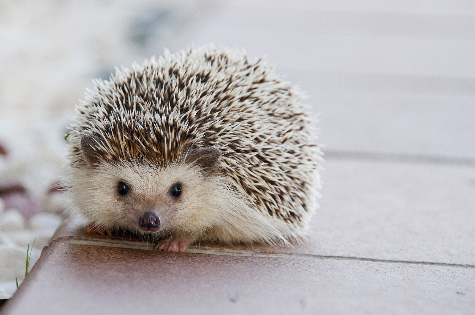 Animal Symbolism Hedgehog Meaning On Whats Your Sign