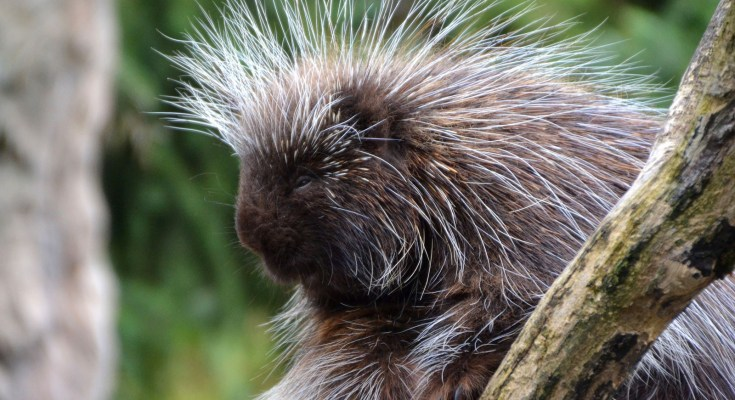 animal symbolism porcupine meaning