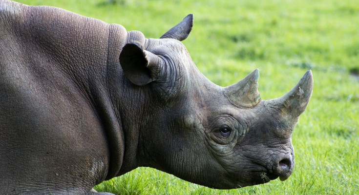 animal symbolism rhinoceros meaning