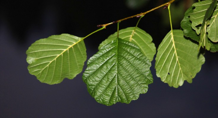 Celtic meaning of alder tree