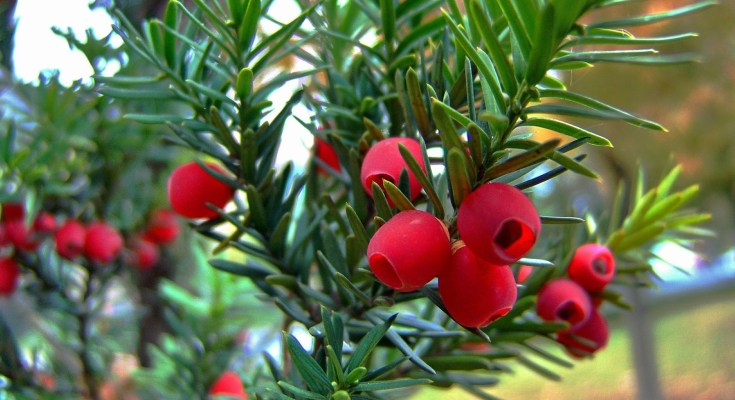 celtic meaning yew tree meaning in the celtic ogham