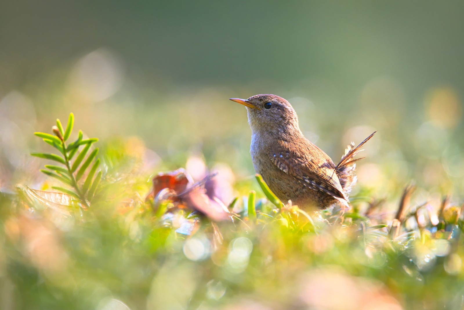 Celtic Meanings: Wren Symbolism in Celtic Culture on Whats