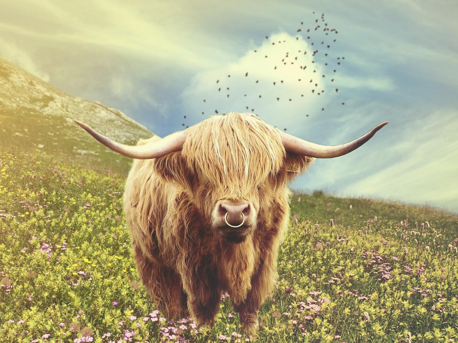 Woman is a bull-bull. characteristic