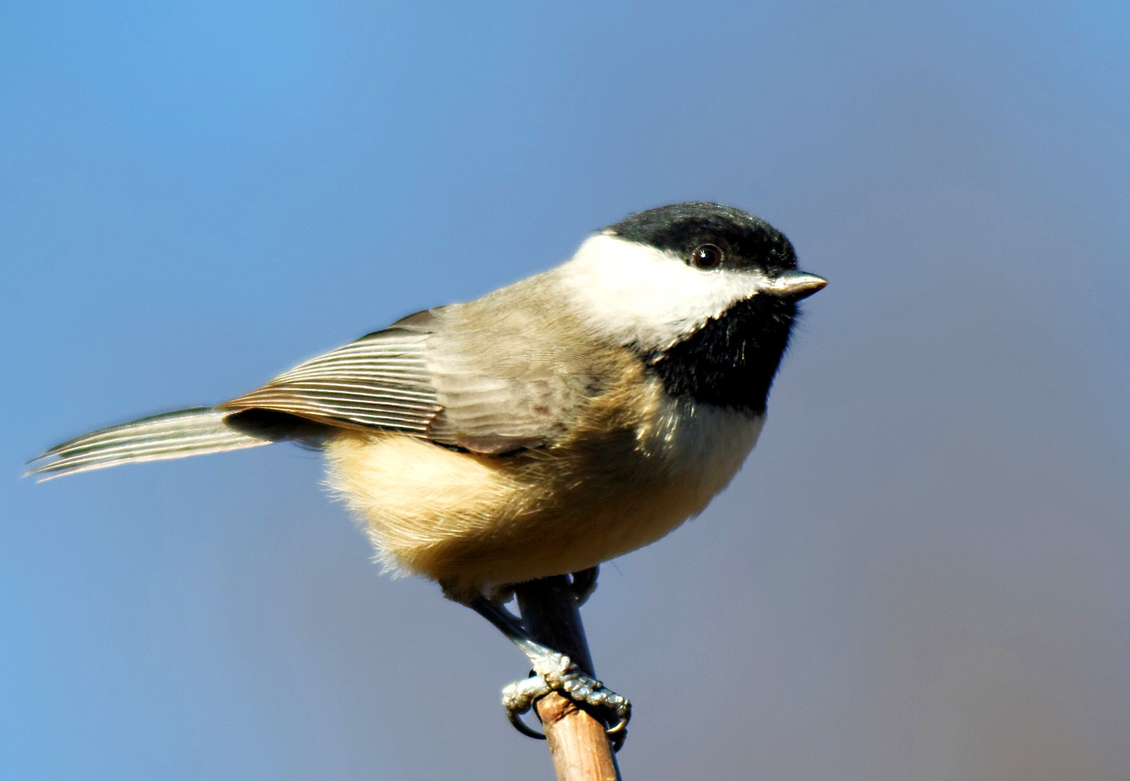 Chickadee Meanings and Symbolism on Whats-Your-Sign