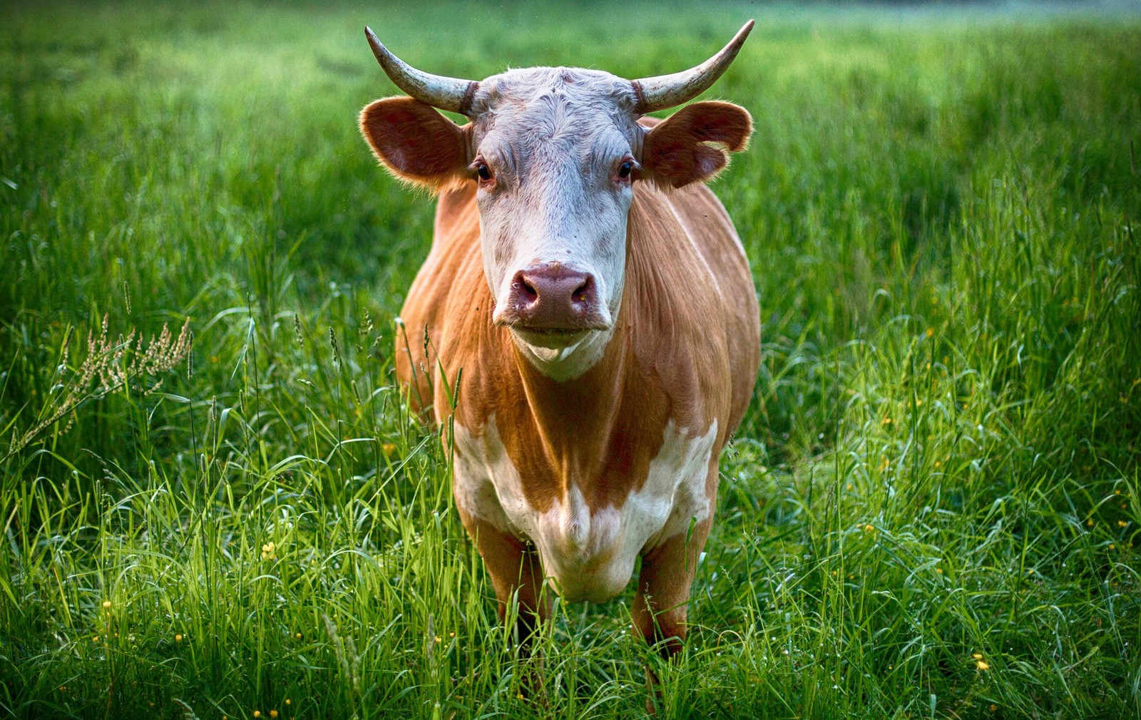 Cow Animal Symbolism And Cow Meanings On Whats Your Sign