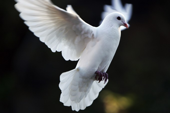 Dove Symbolism And Dove Meanings On Whats Your Sign