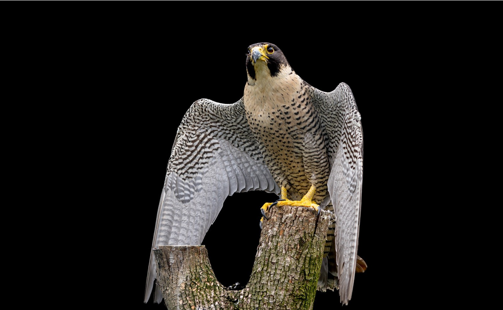 Falcon Animal Totem Meaning And Falcon Symbolism On Whats Your Sign