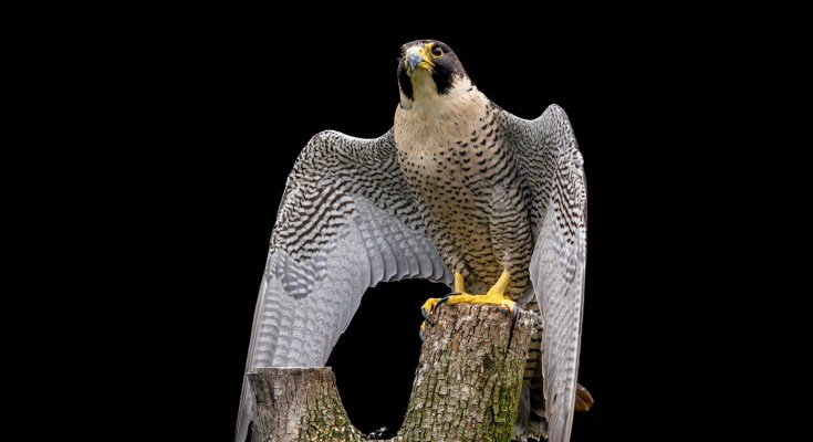 falcon animal totem meaning