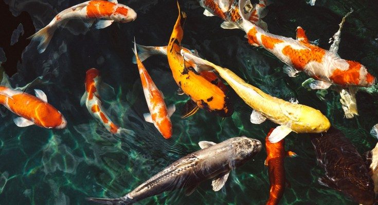 koi fish tattoo meaning and koi meaning