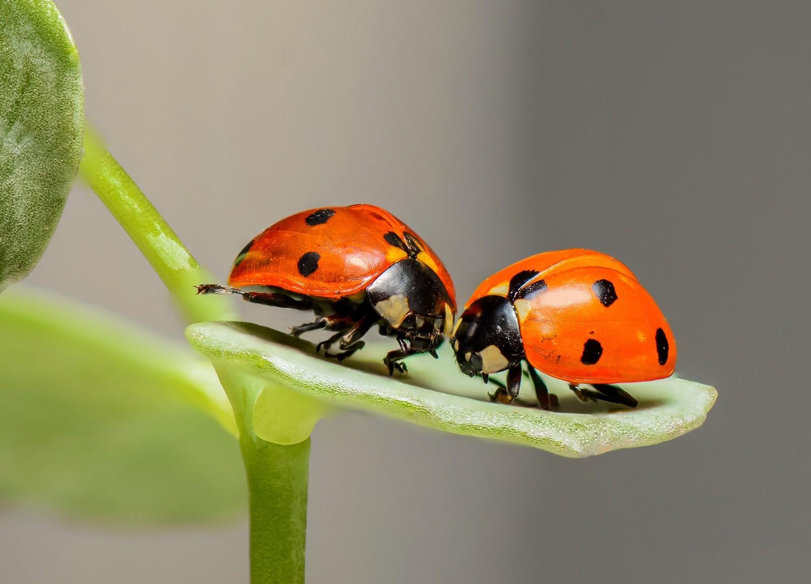 Ladybug significance