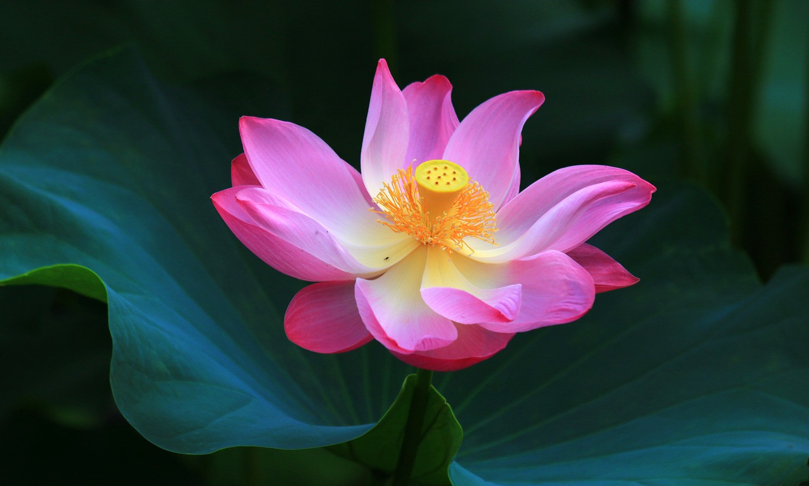 Lotus flower meanings and lotus symbolism on whats your sign izmirmasajfo
