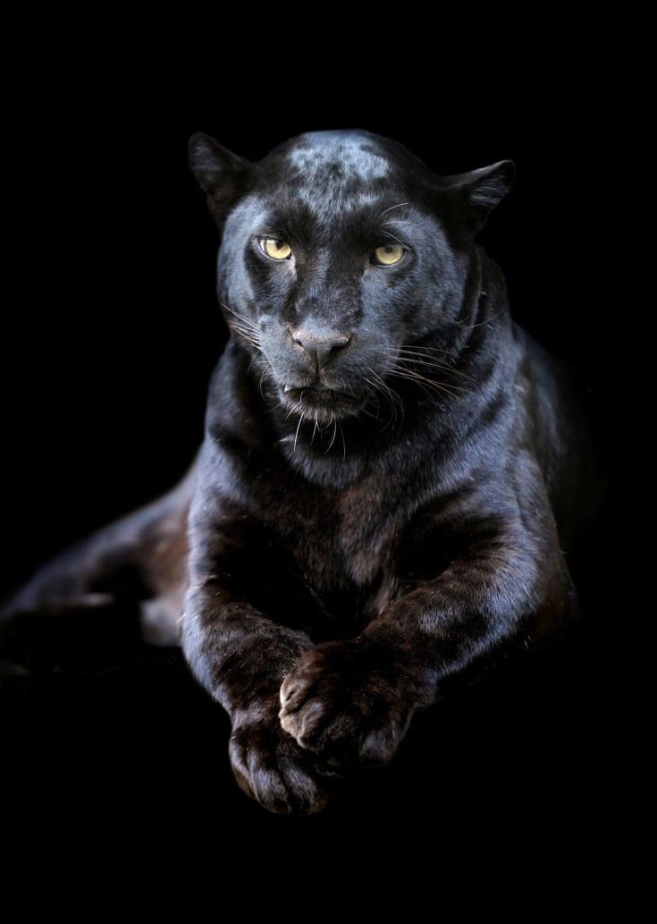 Panther Tattoo Ideas and Panther Meaning on Whats-Your-Sign