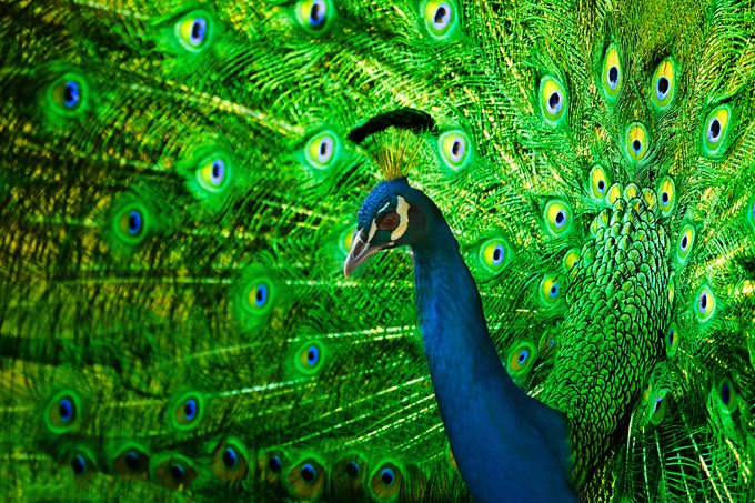 Peacock Symbolism And Peacock Meaning On Whats Your Sign