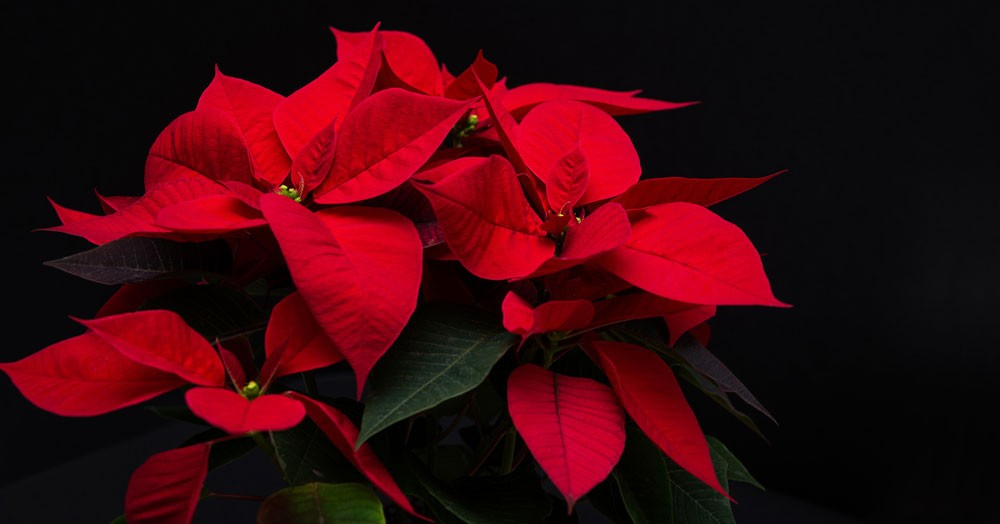 poinsettia christmas flower meanings - Red Christmas Flowers