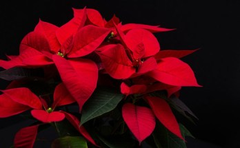 poinsettia Christmas flower meanings