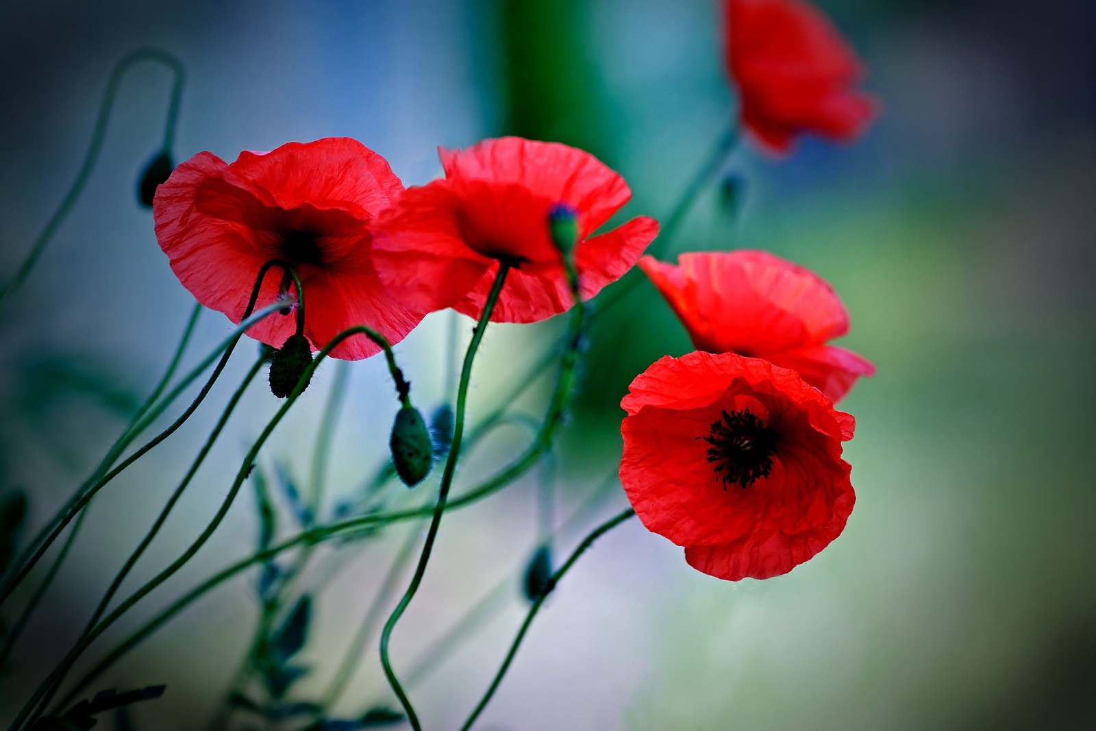 Poppy Symbolism And Poppy Flower Meanings On Whats Your Sign