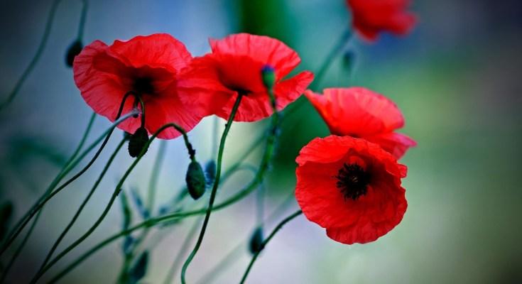 poppy symbolism and poppy meaning
