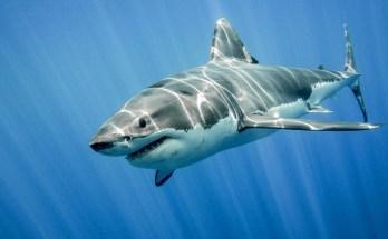 shark tattoo ideas and shark meaning