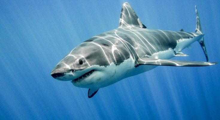 shark tattoo ideas and shark meaning