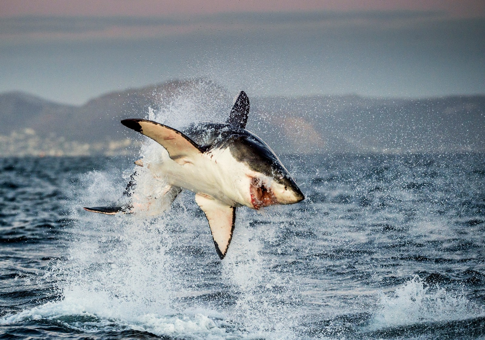 Shark Totem Meaning And Shark Symbolism On Whats Your Sign