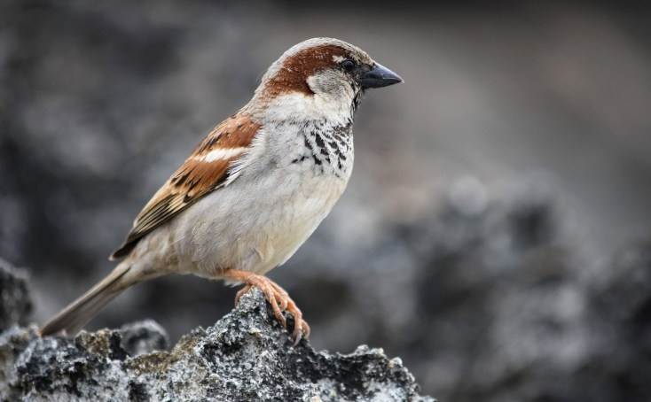 Sparrow Meaning And Sparrow Symbolism On Whats Your Sign