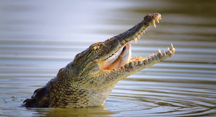 Alligator Meaning Crocodile Meaning4