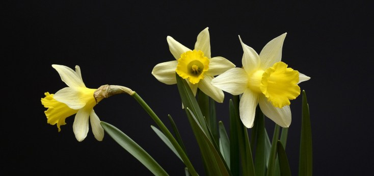 Super Symbolic Daffodil Meanings On Whats Your Sign
