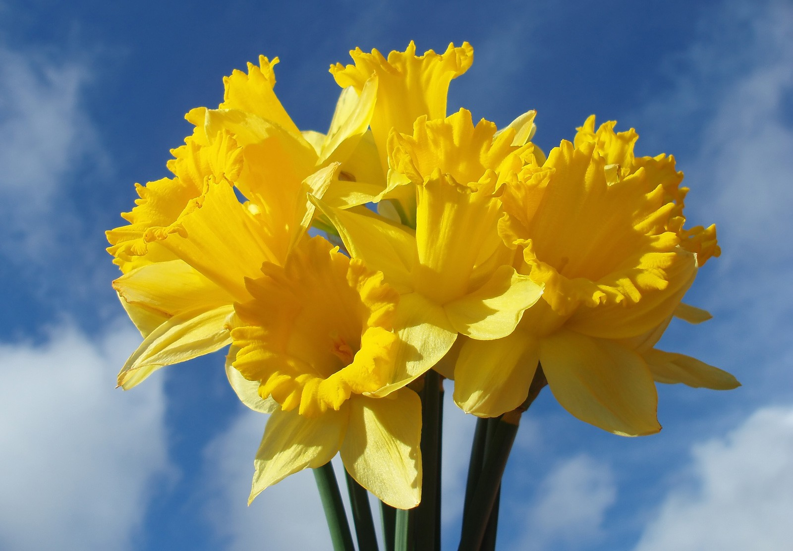 bfb8ecb09 Super Symbolic Daffodil Meanings on Whats-Your-Sign
