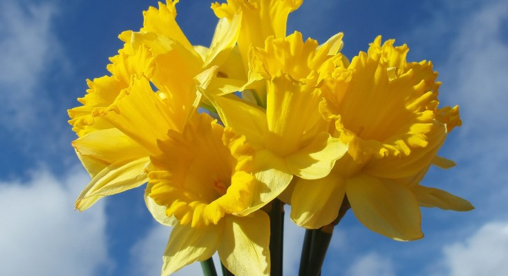 Symbolic Daffodil Meaning