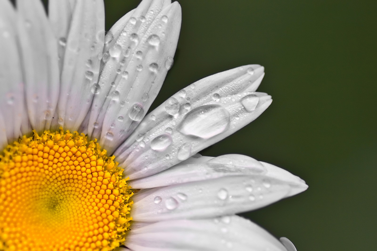 Symbolic Meaning of the Daisy on Whats-Your-Sign