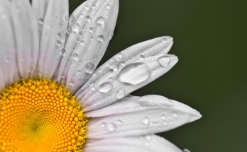meaning of the daisy