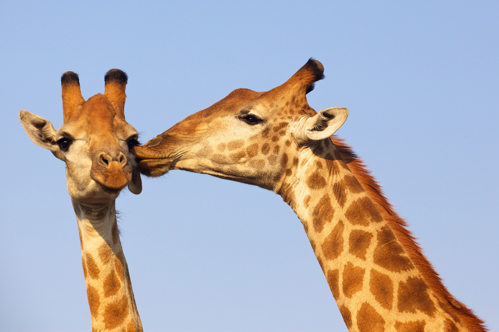 Symbolic Meaning Of The Giraffe On Whats Your Sign