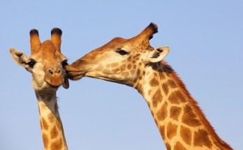 symbolic meaning of giraffe