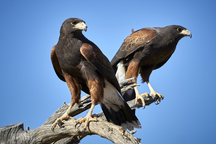 Symbolic Hawk Meaning And Hawk Totem On Whats Your Sign