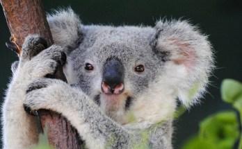 symbolic meaning of koala bears