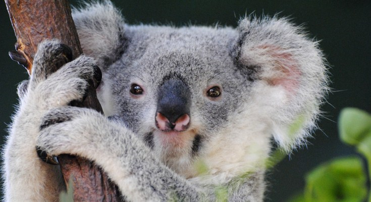symbolic meaning of koala bears