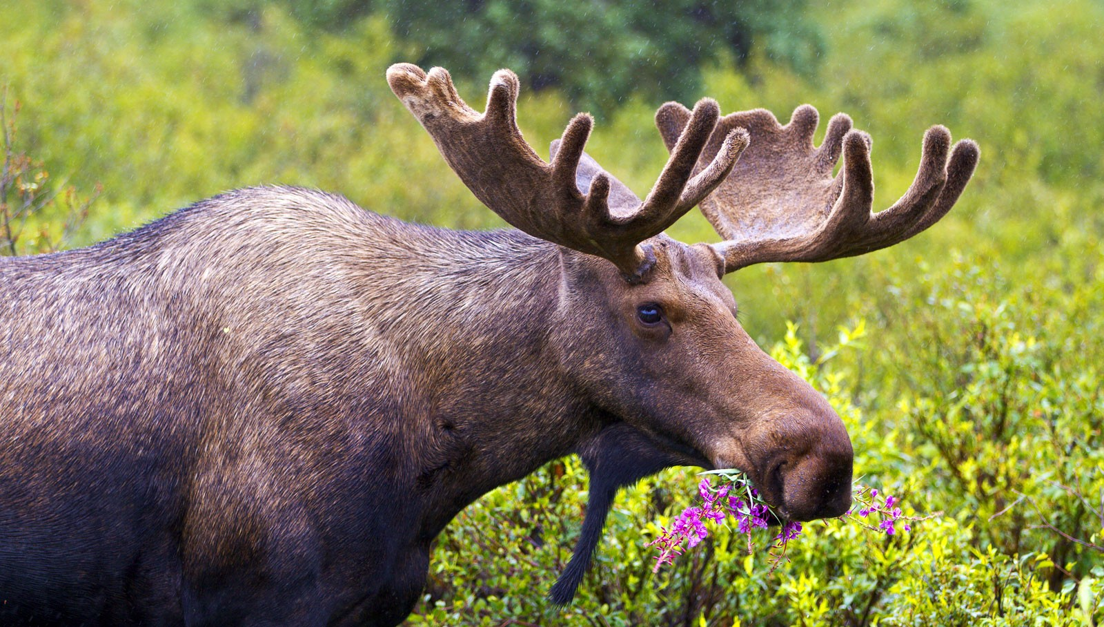 Symbolic Moose Facts And Moose Totem Tips On Whats Your Sign
