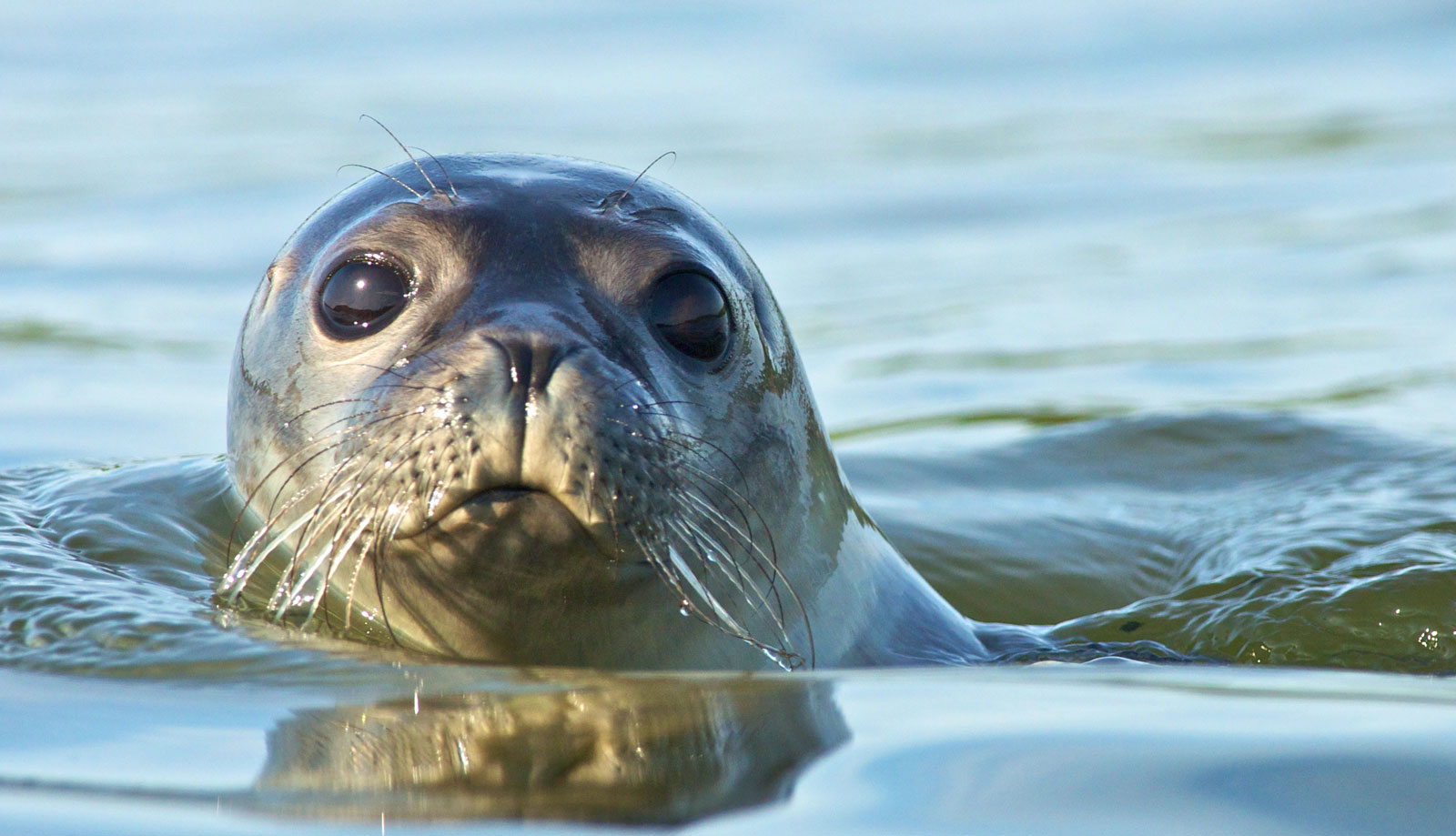 Symbolic Meaning Of Seals Sea Lions And Selkies On Whats Your Sign