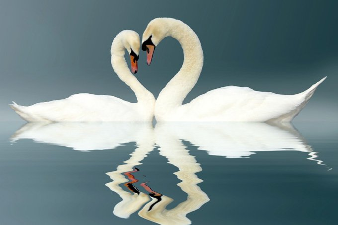 Swan Meaning And Swan Symbolism On Whats Your Sign
