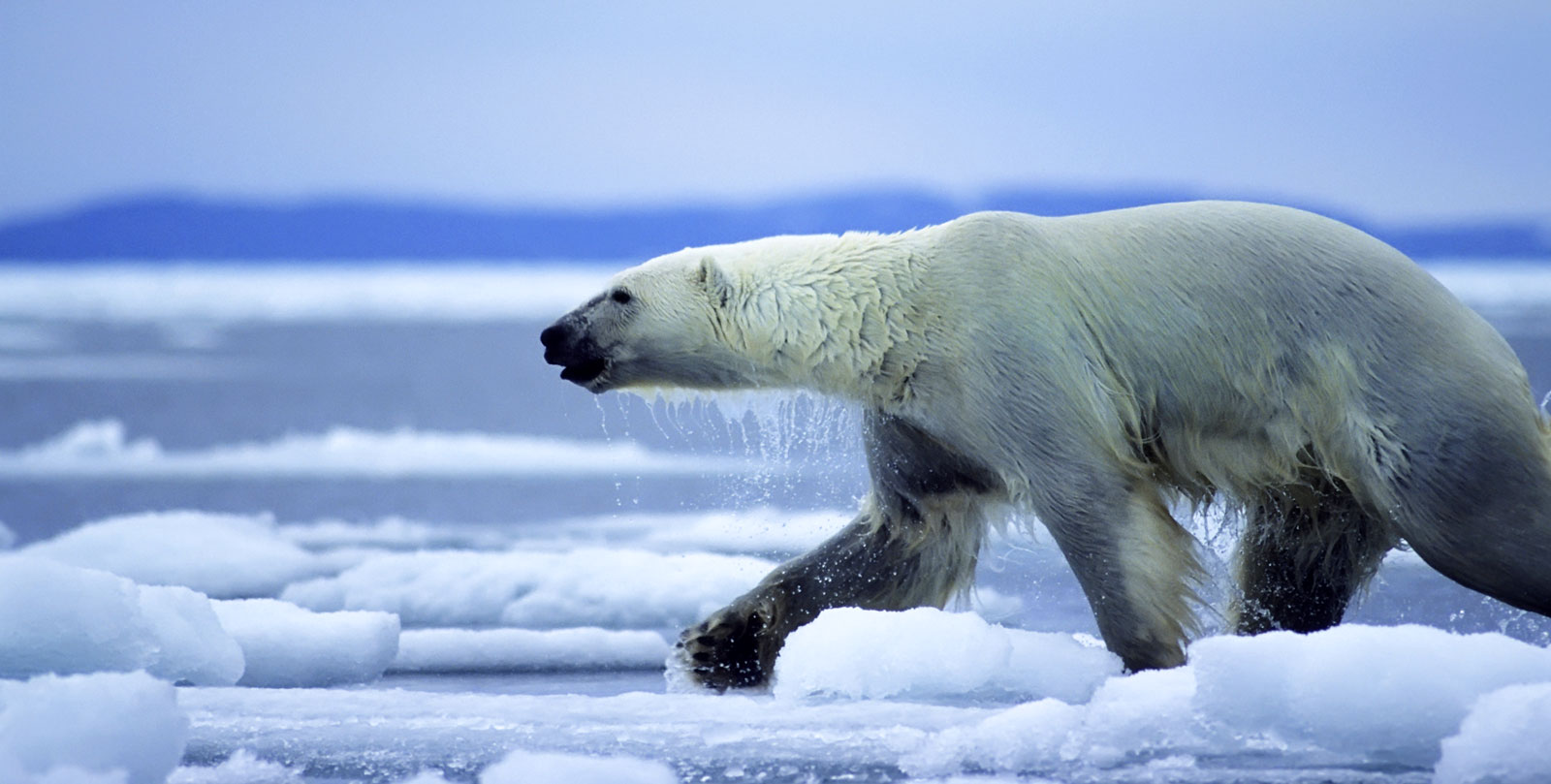 Polar Bear Meaning Polar Bear Totem Whats Your Sign