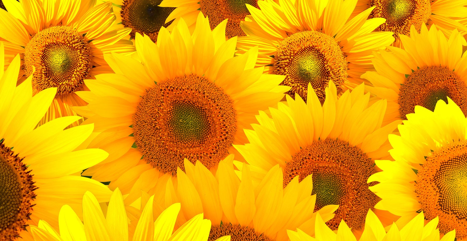 Symbolic Sunflower Meaning and Sunflower Insight on Whats