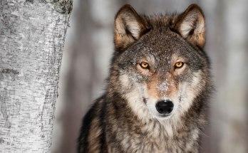 totem wolf symbols