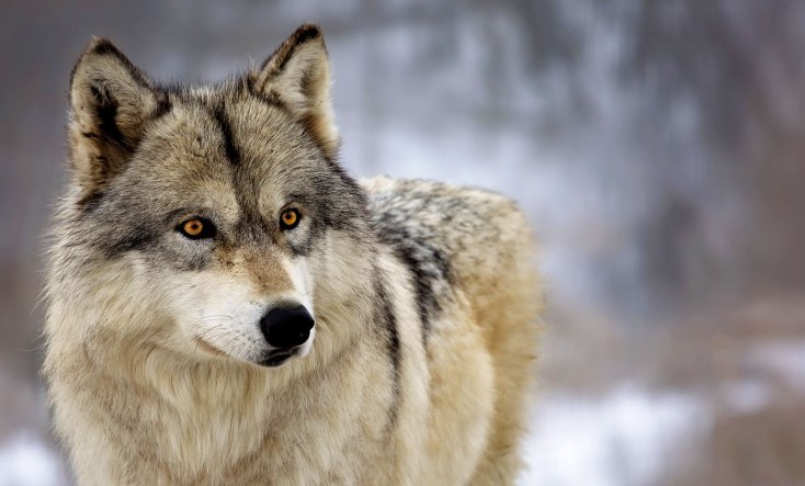 Wolf Totem Meaning And Symbolism On Whats Your Sign