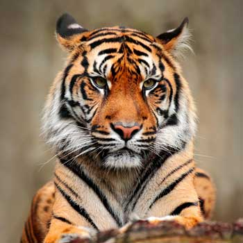 Chinese Animal Symbol Tiger Meaning Whats Your Sign