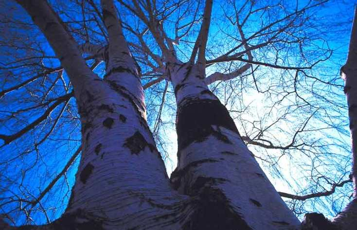 Celtic Meaning Birch Tree Ogham Tree Meanings On Whats Your Sign