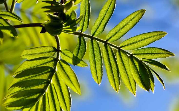 Celtic Meaning Rowan Tree Meaning In The Ogham On Whats