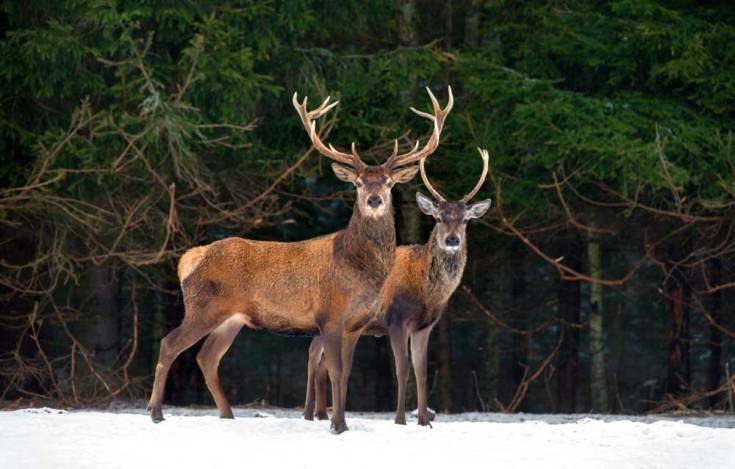 Celtic Zodiac Sign Stag Deer Meaning In Astrology On Whats Your Sign