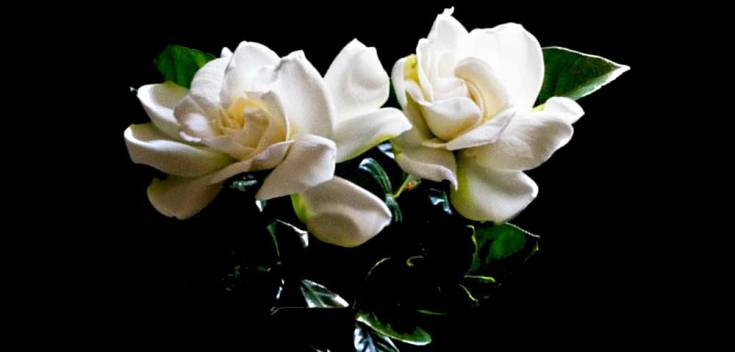 Flower meanings gardenia symbolic meaning on whats your sign gardenias flower meanings also deal with protection they naturally deter certain insects metaphorically and energetically they can help dispel bad mightylinksfo